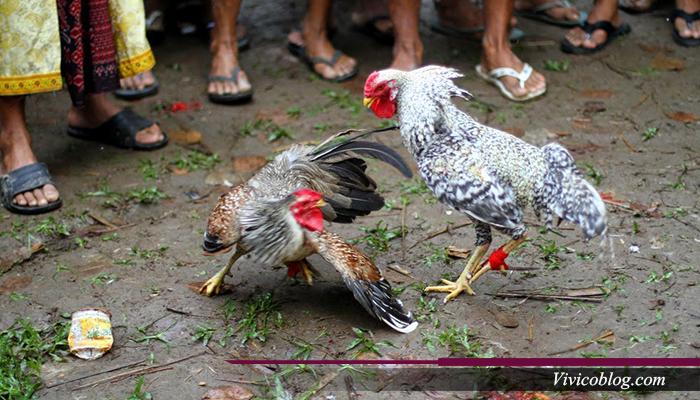Ayam Blorok Madu Mempunyai Serangan Pamungkas