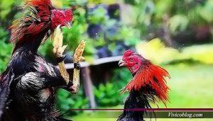 Jenis-jenis Ayam Aduan