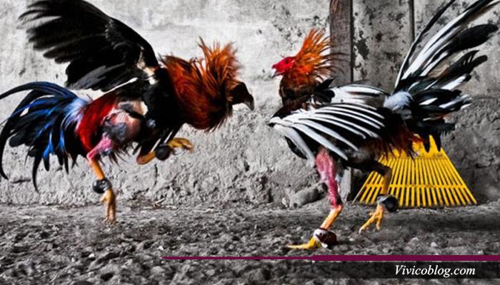 Kepala dan Leher, Titik Lemah Ayam Petarung
