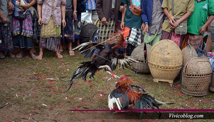 Kota Jogja Menjual Ayam Petarung