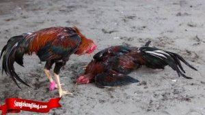 Arti Jurus Bongkar Dari Ayam Tarung Bangkok