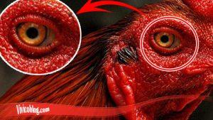Belajar Cara Sembuhkan Mata Ayam S128