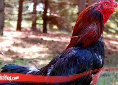 Belajar Cara Tumbuhkan Bulu Ayam SV388