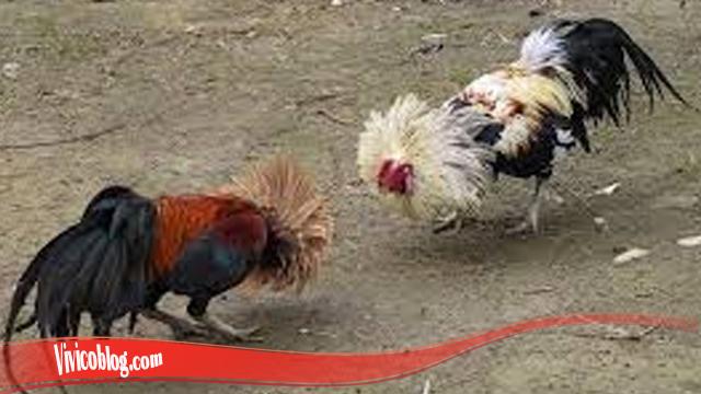 Belajar Cara Tingkatkan Mental Ayam Jatuh S128
