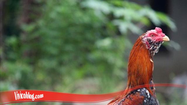 Kutipan Mengenai Ayam Brewok S128